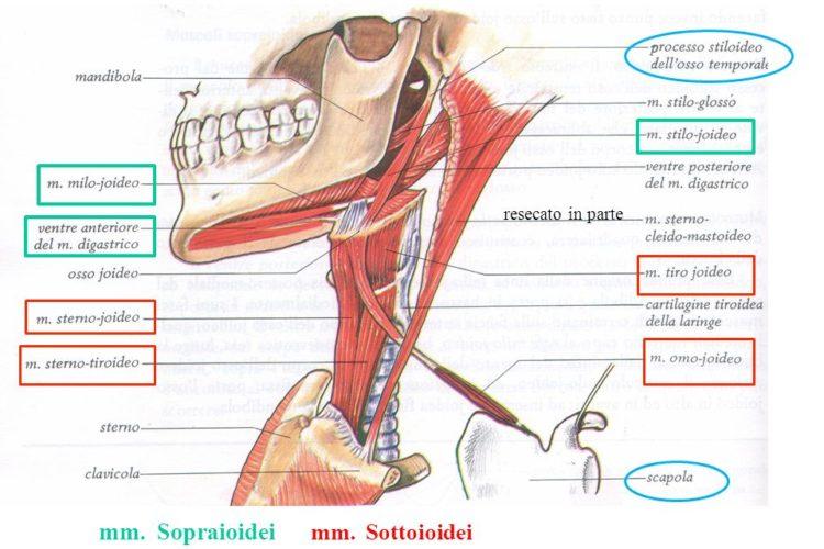 Connessioni anatomiche delle strutture appartenenti al sistema stomatognatico